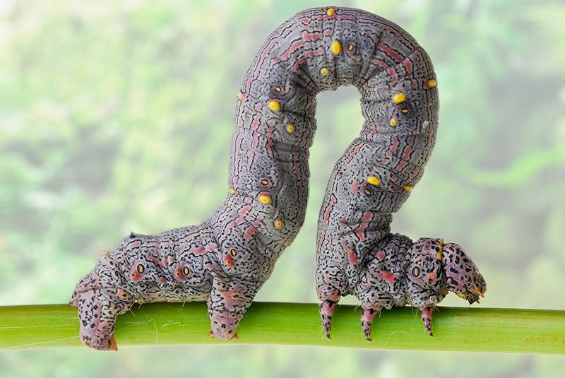 Inchworm geometer moth larvae