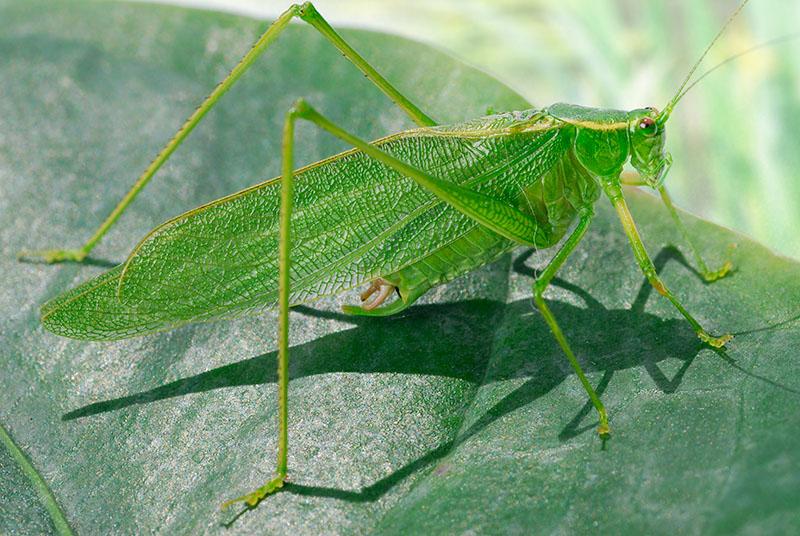 88 Green Grasshopper 4.jpg