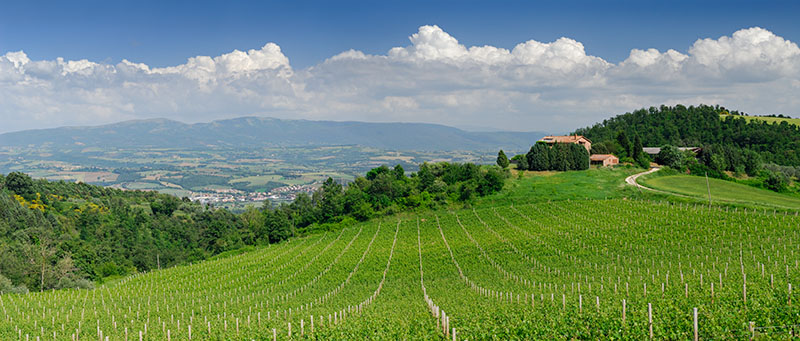 130 Umbrian Vineyard Pano.jpg