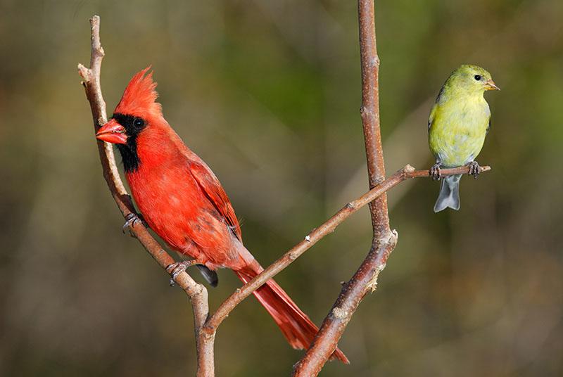 118 Cardinal and Finch.jpg