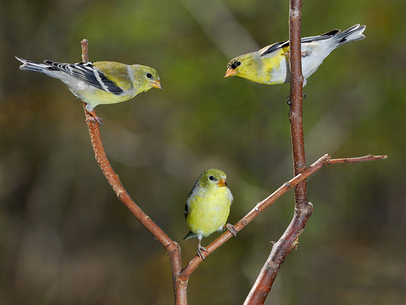 118 three Goldfinches.jpg