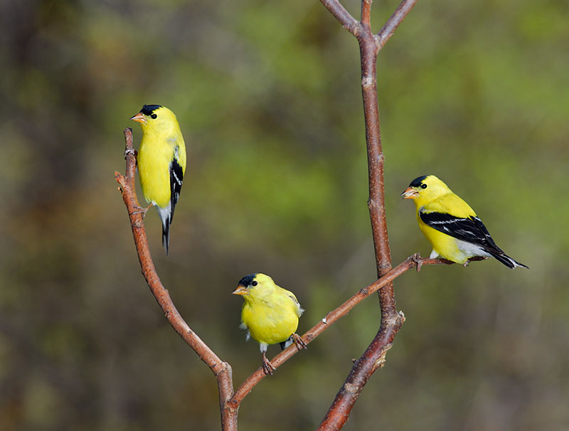 118 three male Goldfinches.jpg
