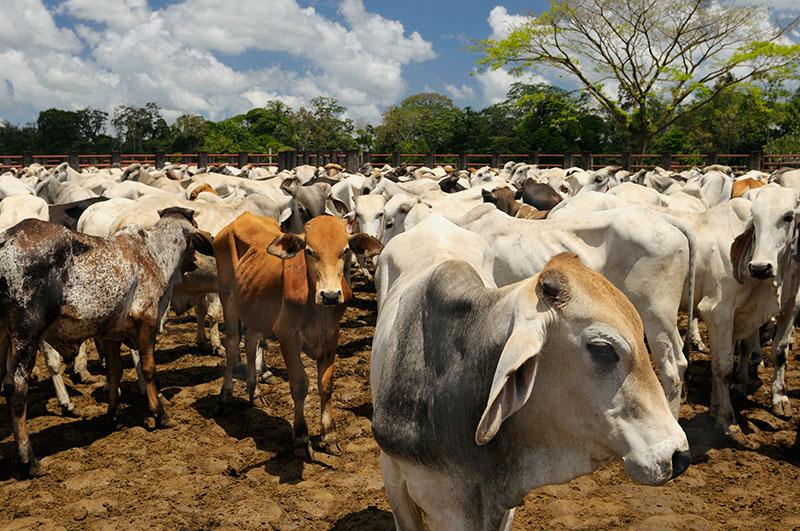 157 Costa Rican Steer 2.jpg