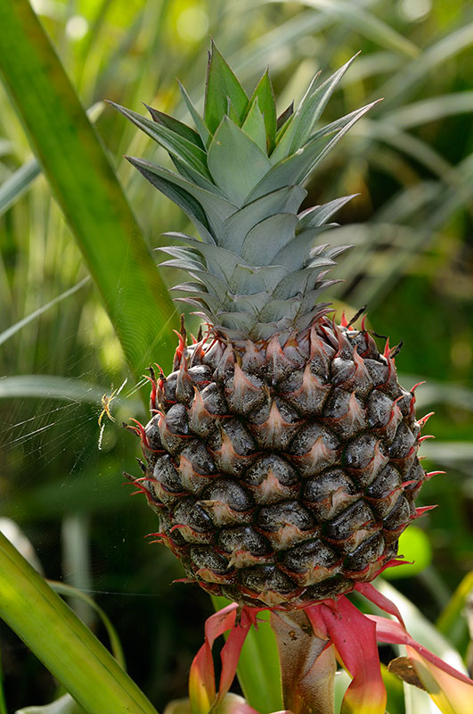 159 Pinapple and Spider.jpg