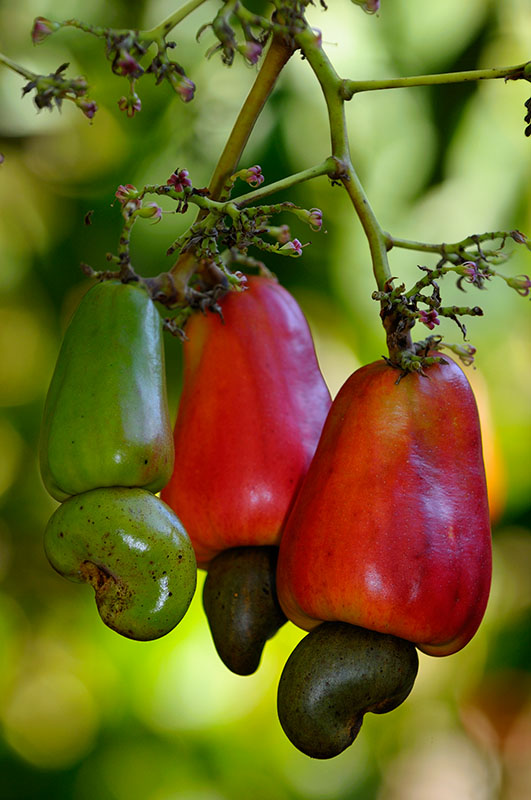 160 Cashew  red fruit 2.jpg
