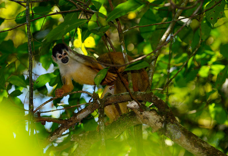 Two male squirrel monkeys copulating in rainforest tree branches of Costa Rica