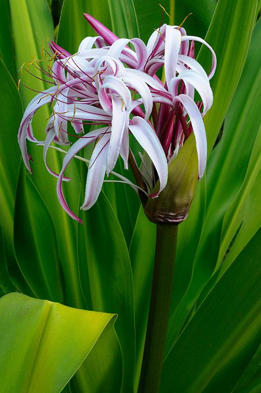 161 Purple Crinum Lily 3.jpg