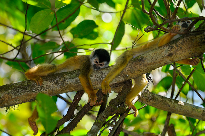 161 Spider Monkeys 4.jpg