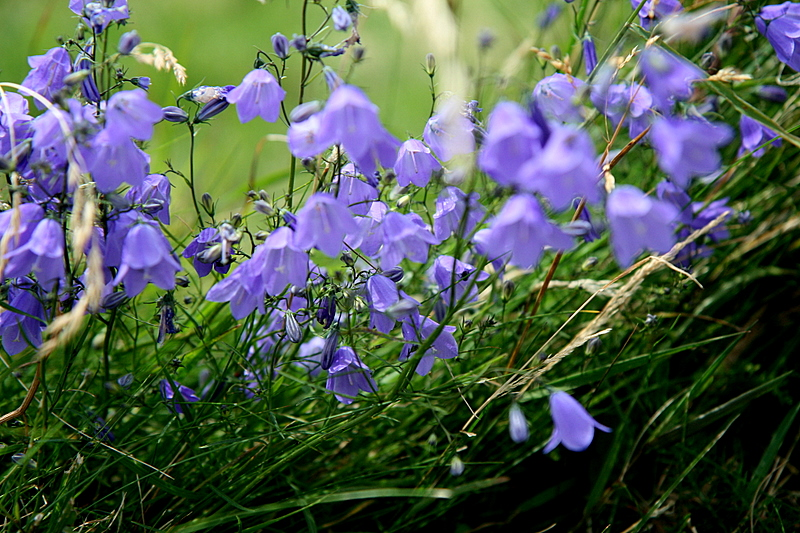 bellflowers shaking in the wind...