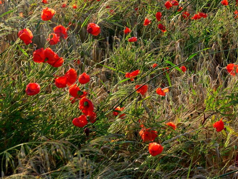 poppies- coquelicots.