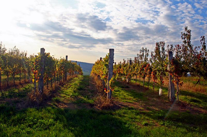 vineyard in early autumn.
