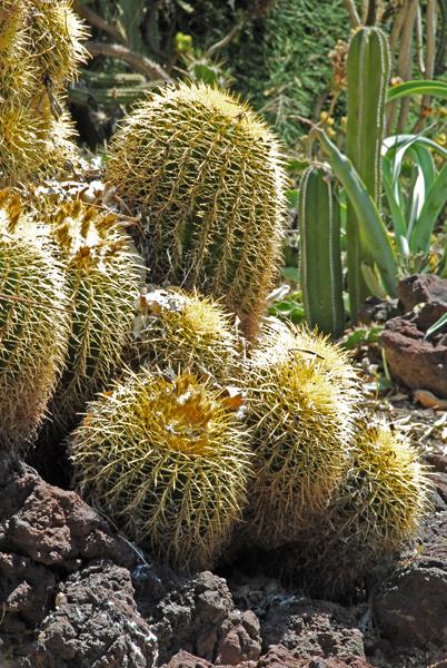 Barrel cacti.