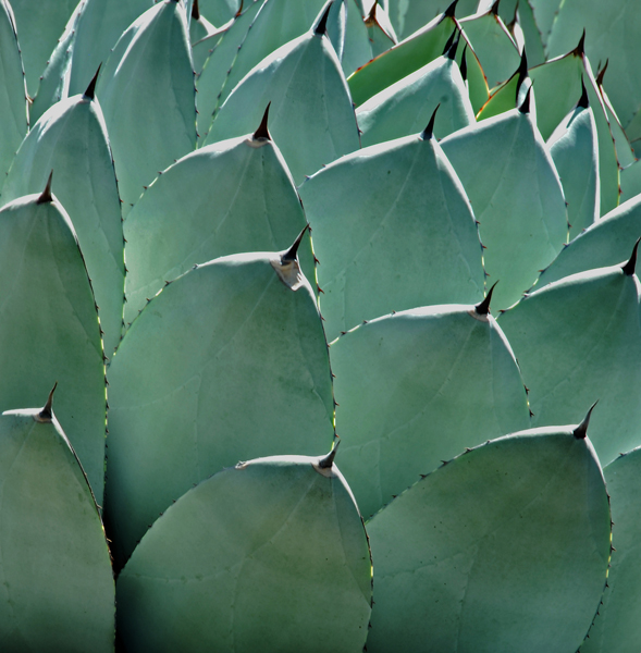 Notable form of agave plant.