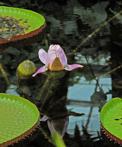A type of water lily in Conservatory.