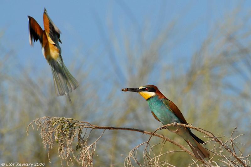 European Bee-eater_6580