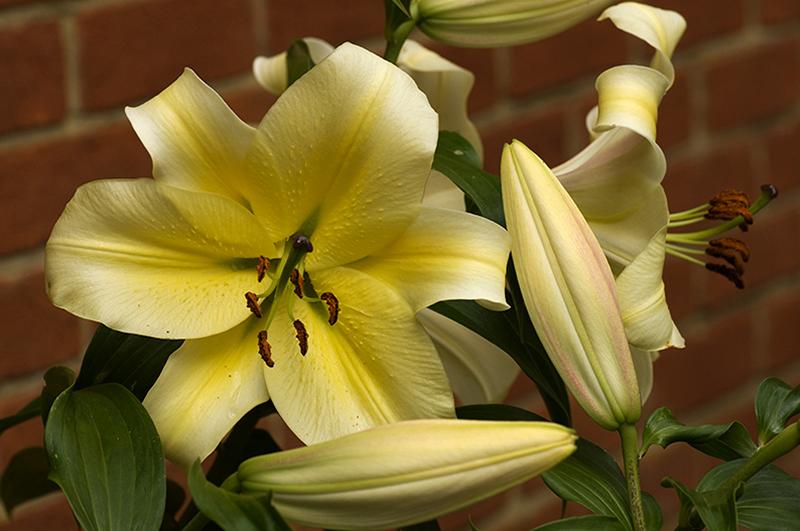 Lilies again.jpg