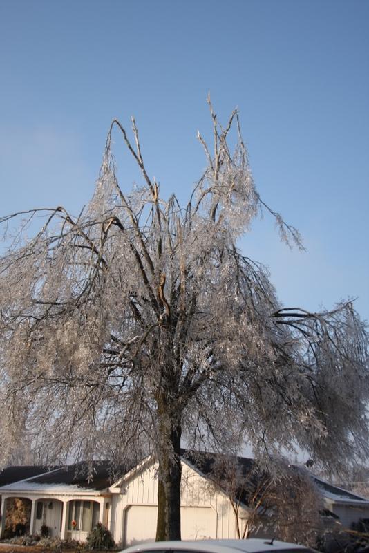 Willow oak damage