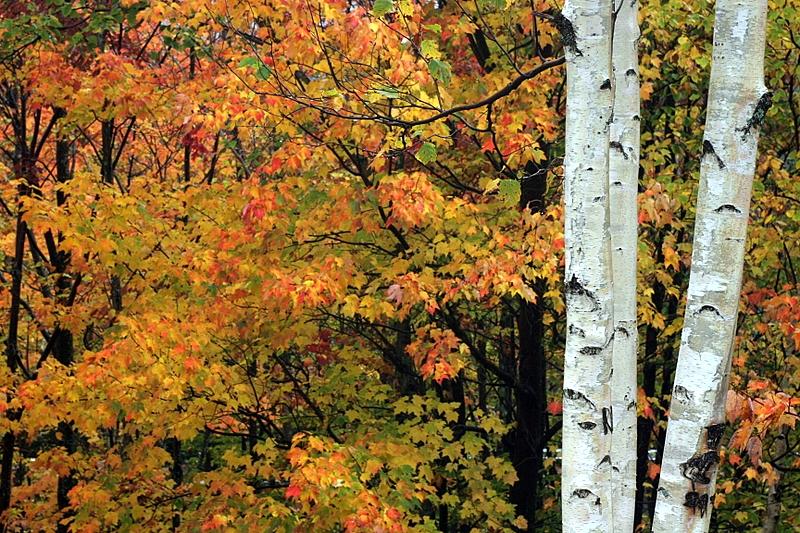 Birches on Kancamaugus Highway