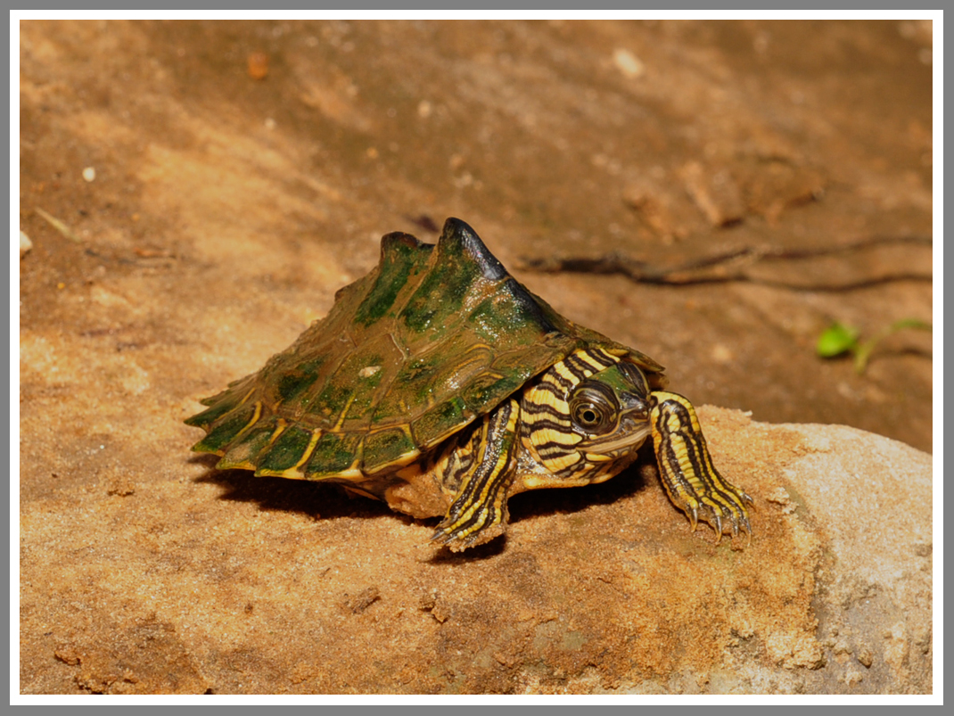 Escambia Map Turtle (Graptemys ernsti)