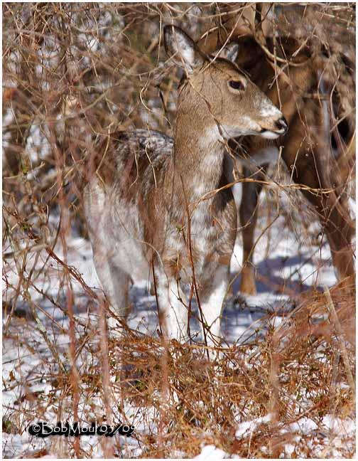 White-tailed Deer-Leucistic
