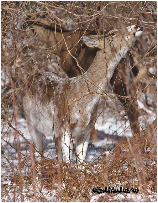White-tailed Deer-Leucistic