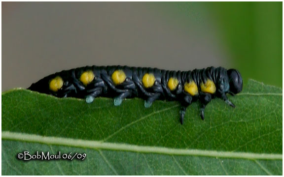 Willow Sawfly Larva