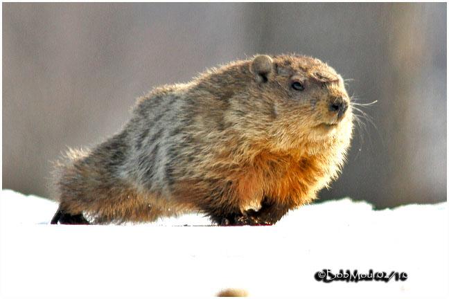 Eastern Marmot Woodchuck
