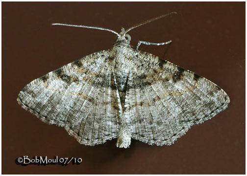 <h5><big>Hollow-Spotted Angle Moth<br></big><em>Digrammia gnophosaria #6405</h5></em>