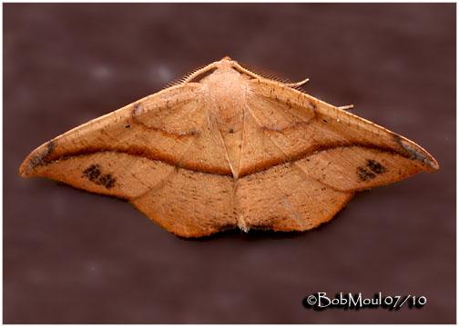 <h5><big>Juniper-twig Geometer Moth-Male<br></big><em>Patalene olyzonaria #6974</h5></em>