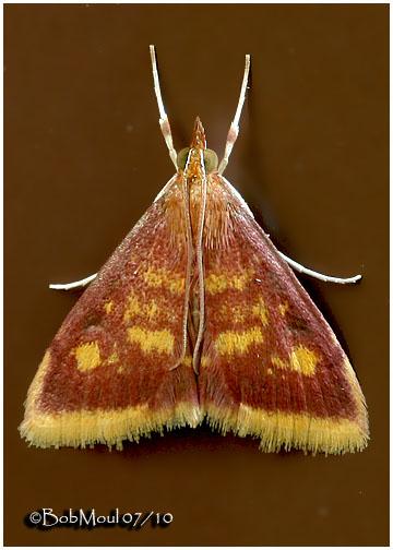 <h5><big>Mint-loving Pyrausta Moth<br></big><em>Pyrausta acrionalis  #5071</h5></em>