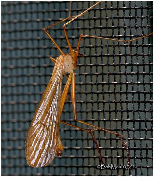 Hangingfly-Genus Bittacus
