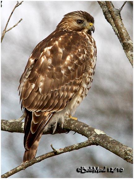 Red Shouldered Hawk Juvenile