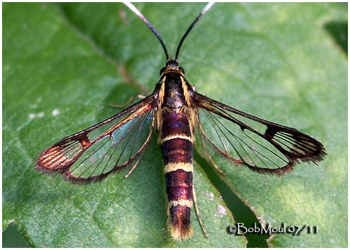 <b><big><strong>Apple Bark Borer Moth<br></big><em>Synanthedon pyri  #2565</em>