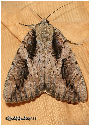 <h5><big>The Sweetheart<BR> Moth <br></big><em>Catocala amatrix #8834</h5></em>