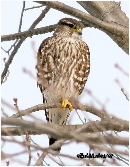 Merlin-Female