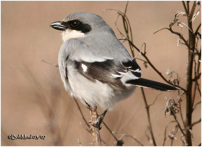 Loggerhead Shrike-March 2007