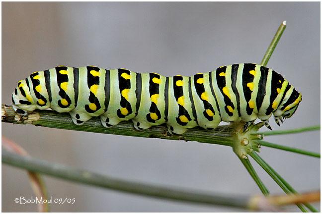 Full Grown Caterpillar
