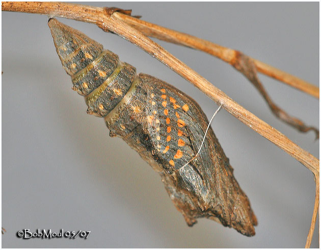Late Pupa Stage