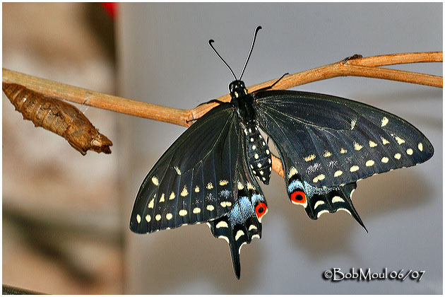 Adult Butterfly with Chrysalis Shell