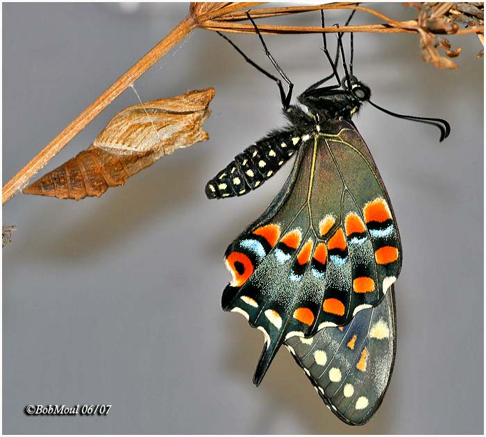 Black Swallotail w/Chrysalis Shell