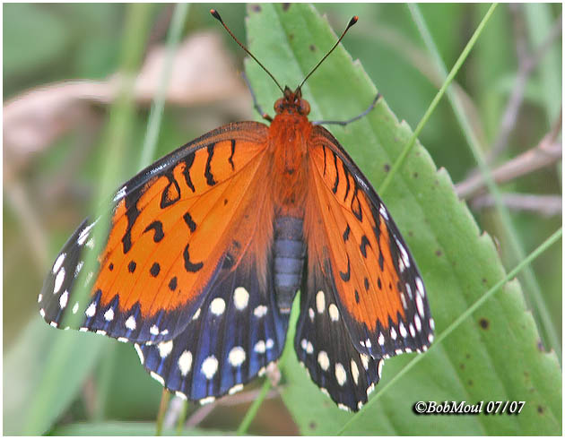 <h5><big>Regal Fritillary-Female<br></big><em>Speyria idalia</h5></em>