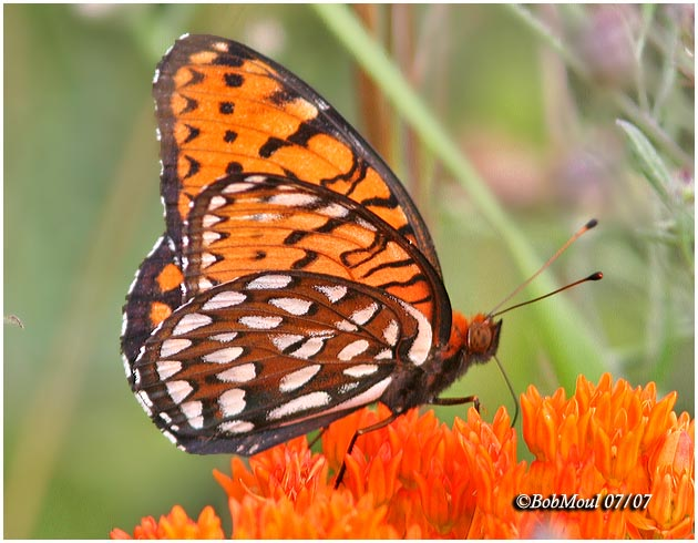 <h5><big>Regal Fritillary-Male<br></big><em>Speyria idalia</h5></em>