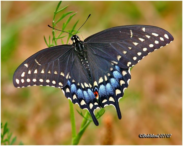 Black Swallowtail-Female