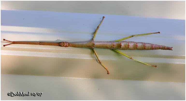 Northern Walking Stick.