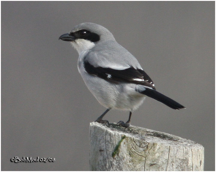 Loggerhead Shrike-Feb 2008