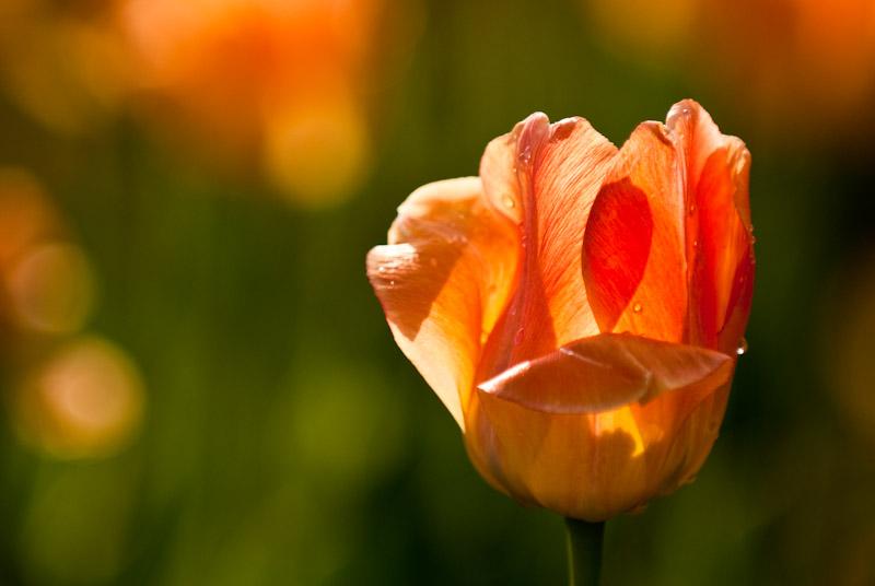 Orange Tulip  ~  May 13