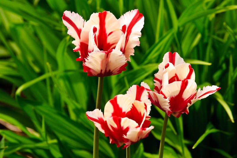 Red & White Tulips  ~  May 20