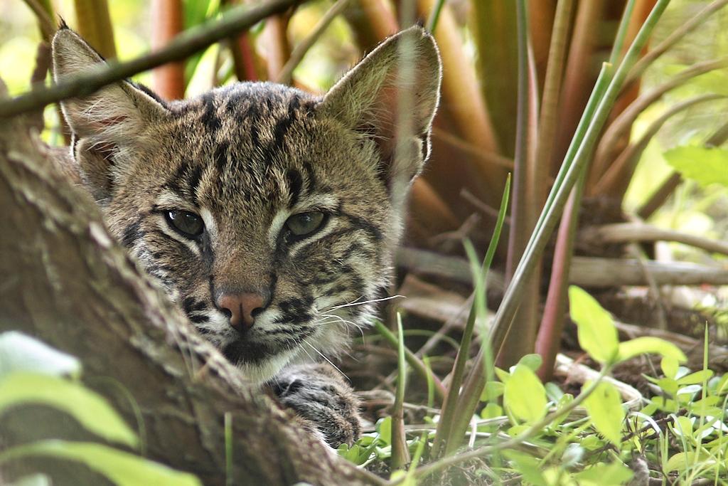 Bobcat staring at me