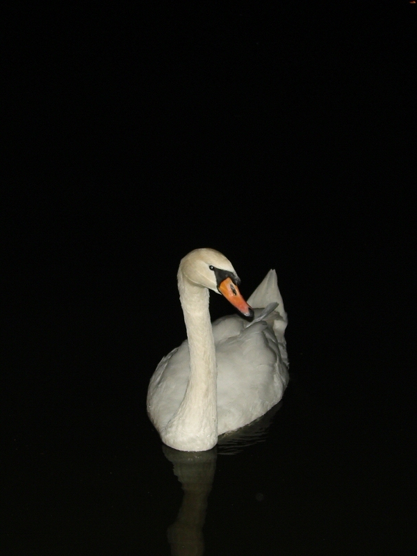 Swan by flash at night
