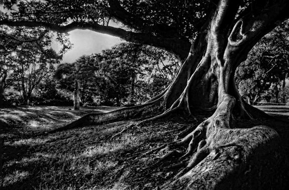 Moreton Bay Fig Tree.